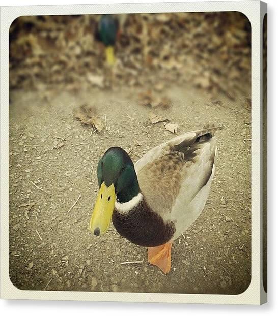 Foul Canvas Print - #ducks #mallards #birds #animals by Erica Mason