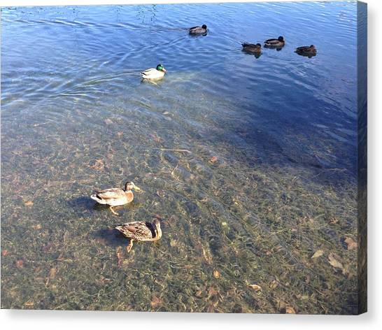 Ducks Canvas Print by Ron Torborg