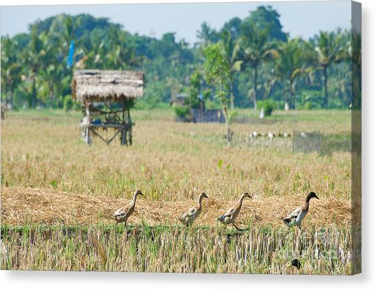 Canvas Print featuring the photograph Ducks by Yew Kwang