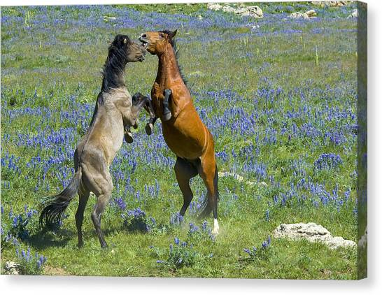 Dueling Mustangs Canvas Print
