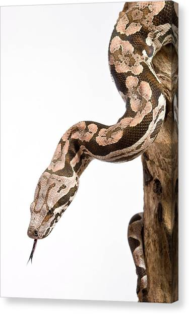 Boa Constrictors Canvas Print - Dumeril's Boa by Pascal Goetgheluck/science Photo Library