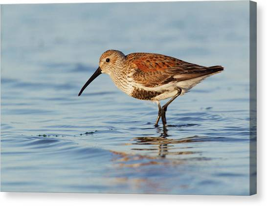 Dunlin Canvas Print by Ken Archer