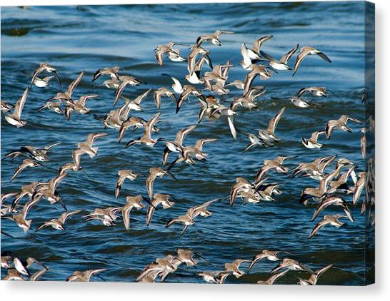 Dunlins In Flight Canvas Print