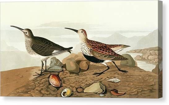 Dunlins Canvas Print by Natural History Museum, London/science Photo Library