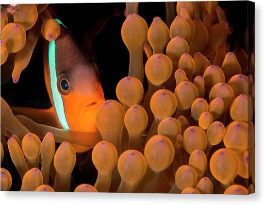 Amphiprion Melanopus Canvas Print - Dusky Anemonefish by Louise Murray