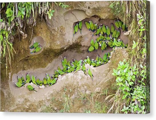 Parakeets Canvas Print - Dusky-headed Parakeets by Tony Camacho/science Photo Library