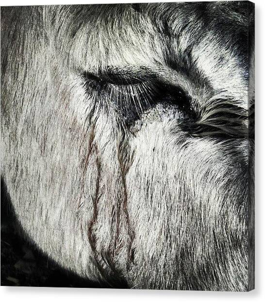 Donkeys Canvas Print - #dusty #tears by Samson Contompasis