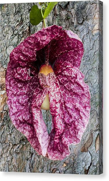 Dutchman's Pipe Canvas Print by Photographic Art by Russel Ray Photos