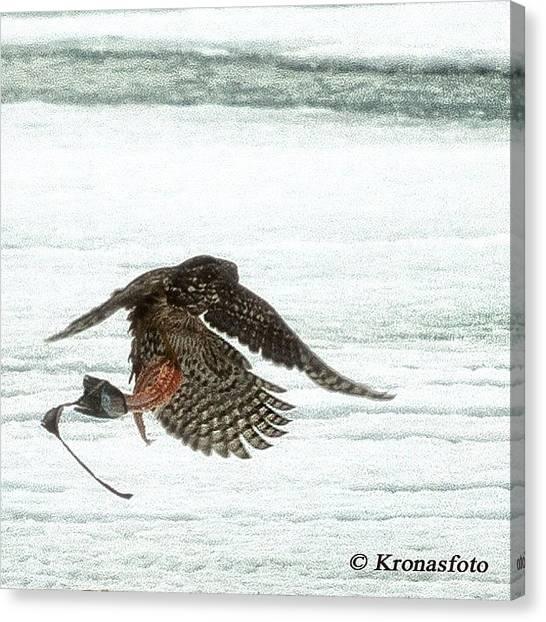 Hawks Canvas Print - Duvhök Med Byte #goshawk by Mikael Krona