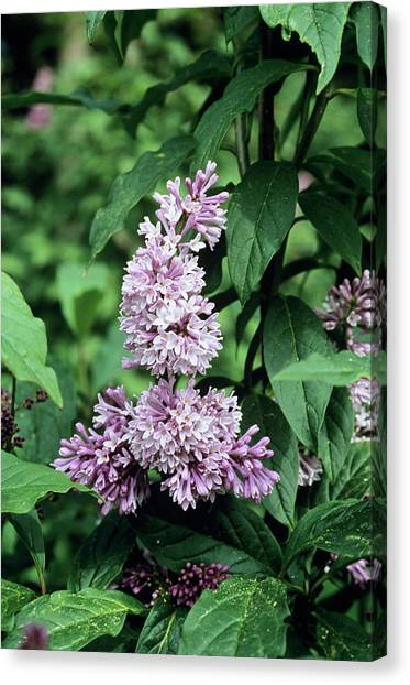Lilac Bush Canvas Print - Dwarf Lilac Flowers by Adrian Thomas/science Photo Library