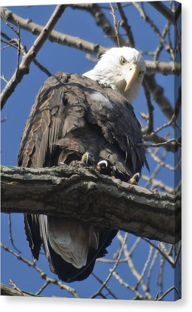 Eagle 2 Canvas Print by Valerie Wolf