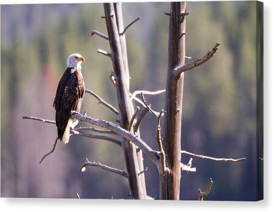 Images By Mark Andrews Canvas Print - Eagle Eye by Mark Andrews