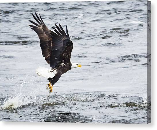 Eagle Hunting On The Wisconsin River Canvas Print by Ricky L Jones