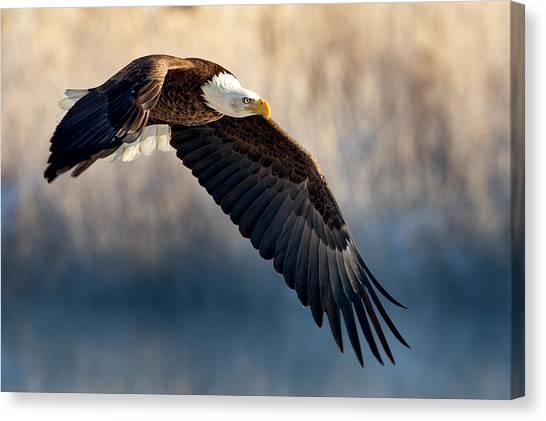 Eagle Sore Canvas Print
