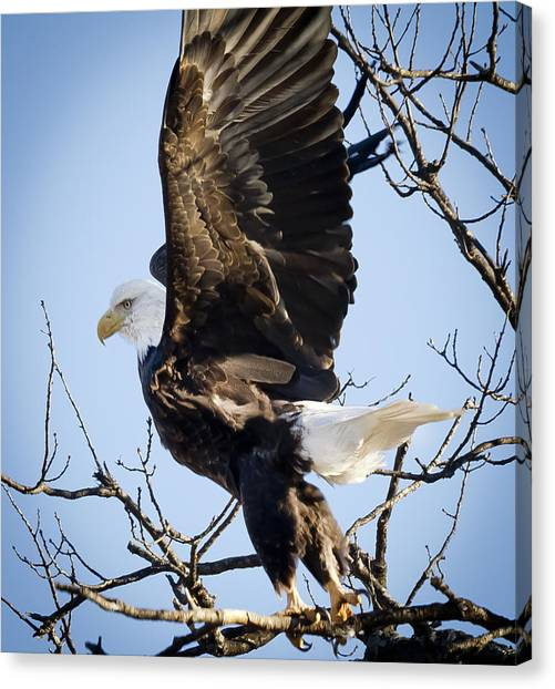 Eagle Taking Off Canvas Print by Ricky L Jones