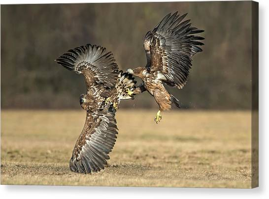 Fighting Canvas Print - Eagles Fighting by Xavier Ortega