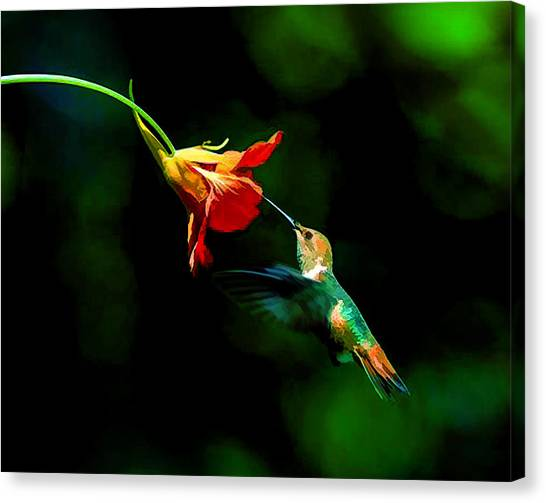 Early Hummingbird Canvas Print