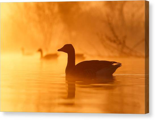 Ducks Canvas Print - Early Morning Mood by Roeselien Raimond