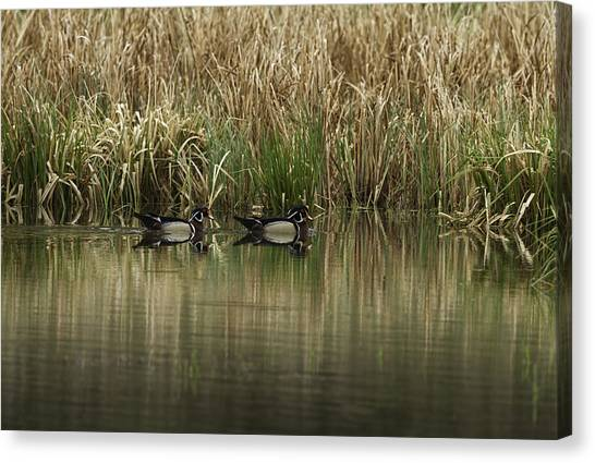 Early Morning Wood Ducks Canvas Print