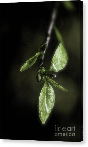 Early Spring Leaves Canvas Print