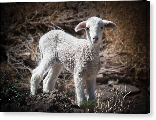March Lamb Canvas Print