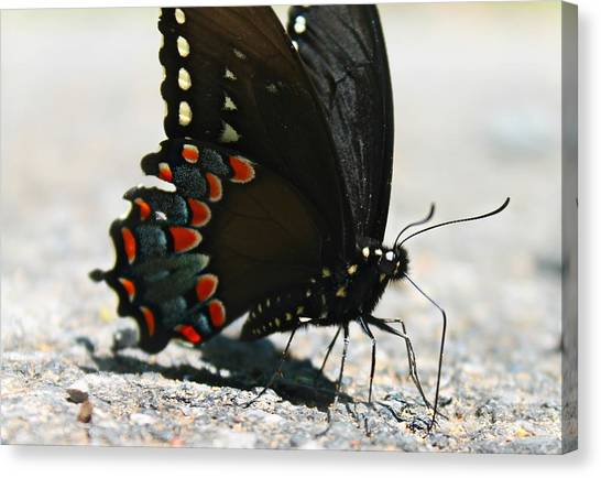 Canvas Print featuring the photograph Eastern Black Swallowtail by Candice Trimble