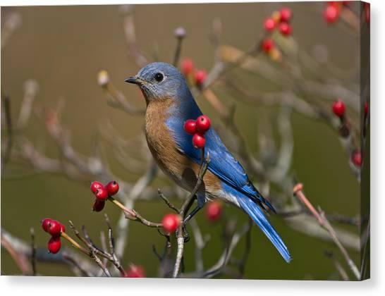 Eastern Bluebird - 2531 Canvas Print