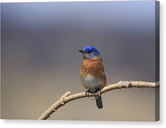Eastern Bluebird 3 Canvas Print
