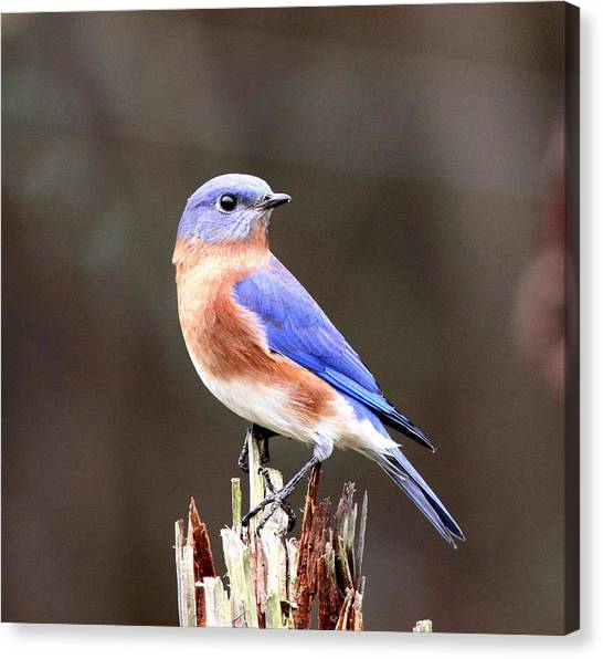 Eastern Bluebird - The Old Fence Post Canvas Print