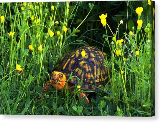 Box Turtles Canvas Print - Eastern Box Turtle Amongst A Field by Jeffrey Lepore