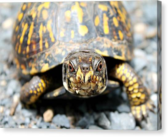 Canvas Print featuring the photograph Eastern Box Turtle by Candice Trimble