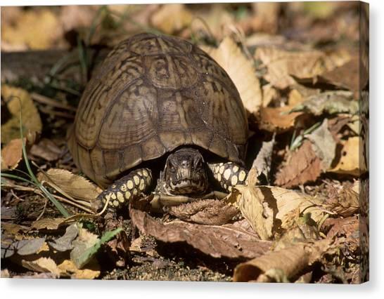 Box Turtles Canvas Print - Eastern Box Turtle by C.r. Sharp