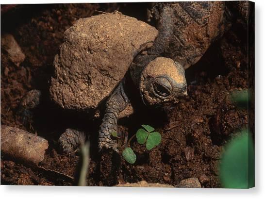 Box Turtles Canvas Print - Eastern Box Turtle Hatchling by Carleton Ray