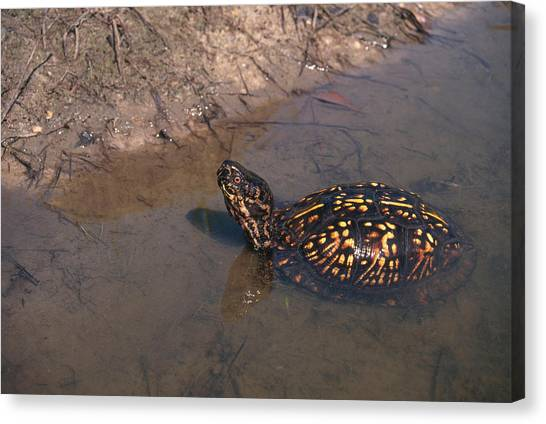 Box Turtles Canvas Print - Eastern Box Turtle by Karl H. Switak