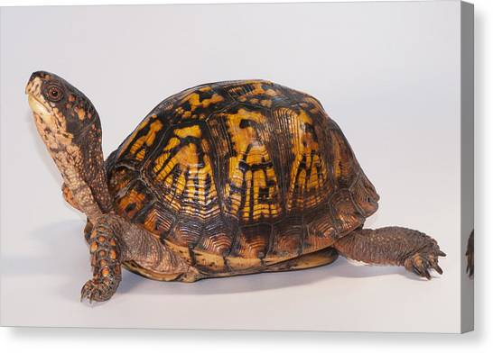 Box Turtles Canvas Print - Eastern Box Turtle, Terrapene Carolina by Scott Camazine
