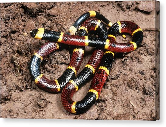 Coral Snakes Canvas Print - Eastern Coral Snake by E.r. Degginger