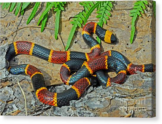 Coral Snakes Canvas Print - Eastern Coral Snake Micrurus Fulvius by John Serrao