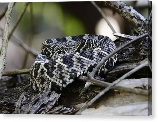 Poisonous Snakes Canvas Print - Eastern Diamondback-1 by Rudy Umans