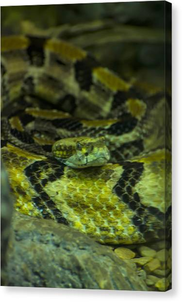 Poisonous Snakes Canvas Print - Timber Rattlesnake by Chris Flees