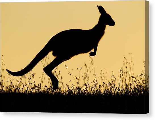 Canberra Canvas Print - Eastern Grey Kangaroo Hopping At Sunset by Sebastian Kennerknecht