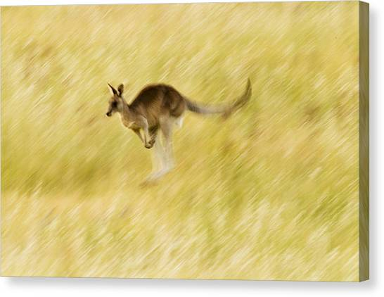 Canberra Canvas Print - Eastern Grey Kangaroo Hopping by Sebastian Kennerknecht