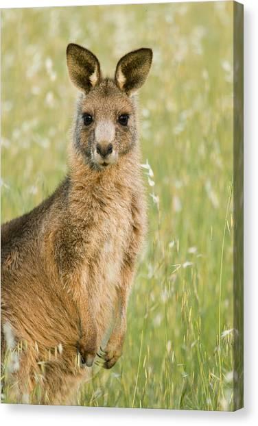 Canberra Canvas Print - Eastern Grey Kangaroo Juvenile Mount by Sebastian Kennerknecht