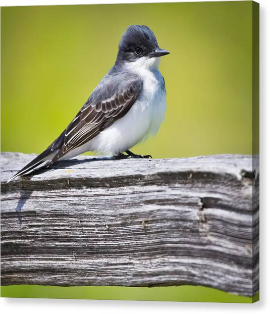 Eastern Kingbird Canvas Print by Ricky L Jones