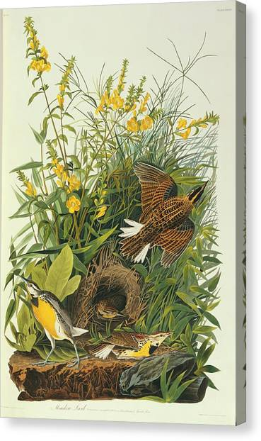 Meadowlarks Canvas Print - Eastern Meadowlark by Natural History Museum, London/science Photo Library