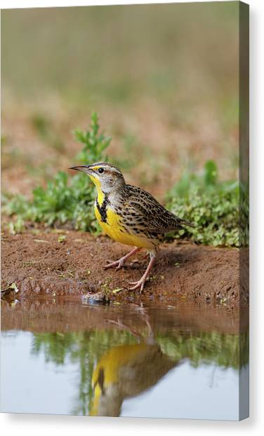 Meadowlarks Canvas Print - Eastern Meadowlark (sturnella Magna by Larry Ditto