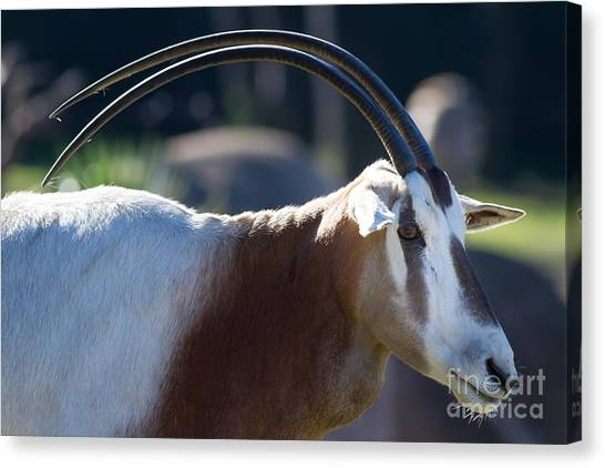 Bongos Canvas Print - Eastern Mountain Bongo 7d8846 by Wingsdomain Art and Photography