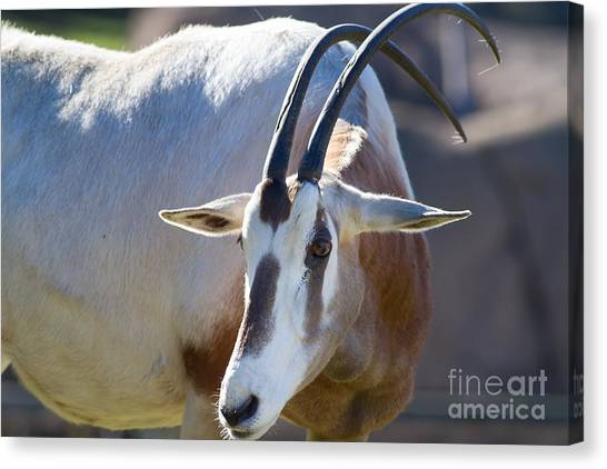 Bongos Canvas Print - Eastern Mountain Bongo 7d8847 by Wingsdomain Art and Photography