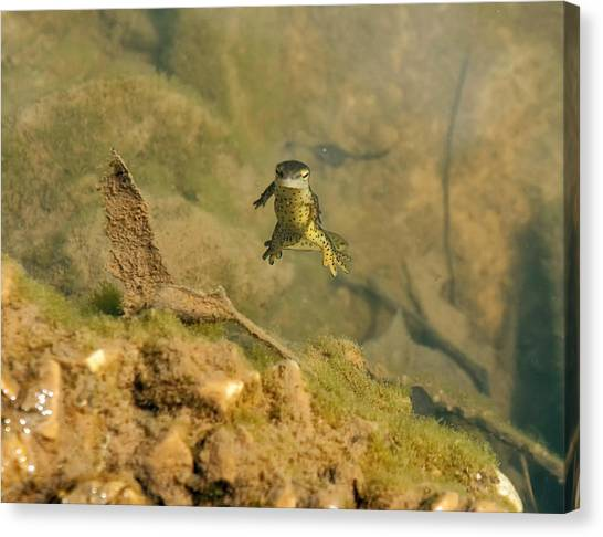 Newts Canvas Print - Eastern Newt In A Shallow Pool Of Water by Chris Flees
