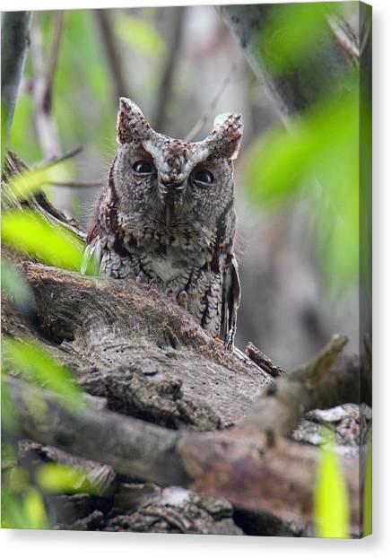 Eastern Screech Owl II Canvas Print