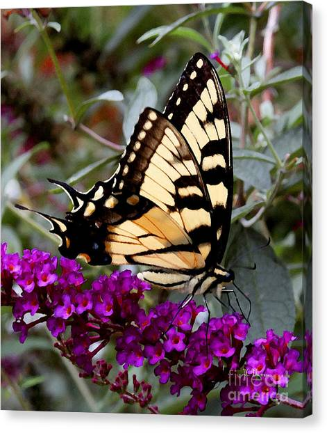 Eastern Tiger Butterfly Canvas Print